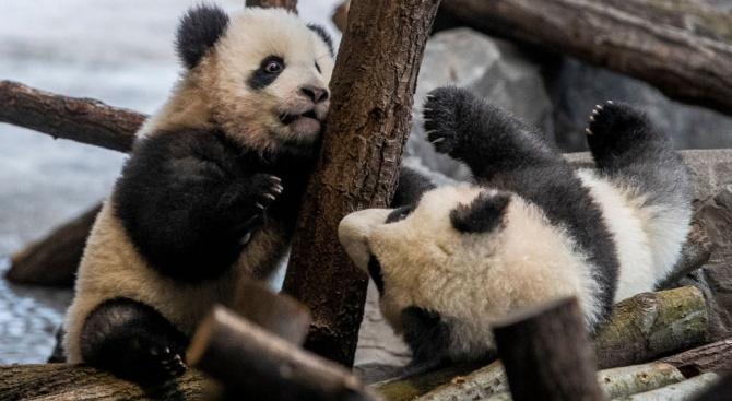 Панди близначета в Берлинския зоопарк излизат пред публика