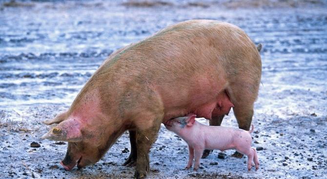 Беше потвърден първият случай на Африканска чума по свинете в