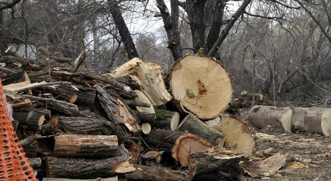 Директор на горско стопанство и подчинените му продавали незаконно добита дървесина