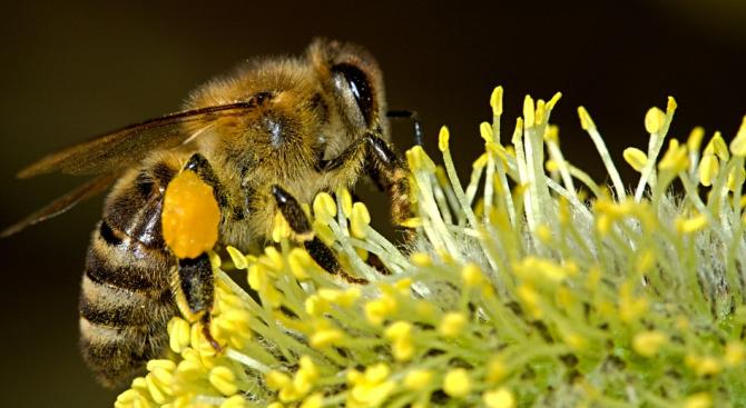 Учените са шокирани от резкия спад в популацията на земните пчели