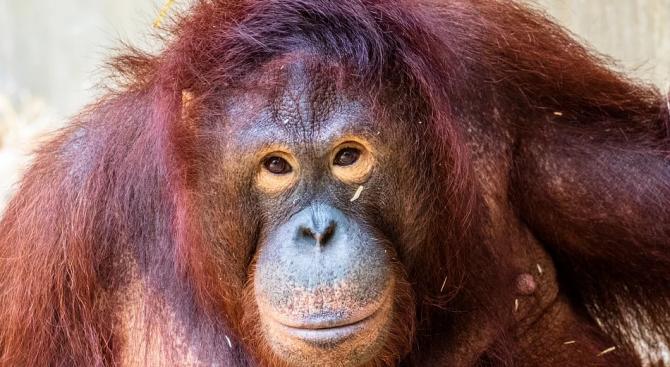 Орангутан помисли, че мъж е затънал в река и му подаде ръка