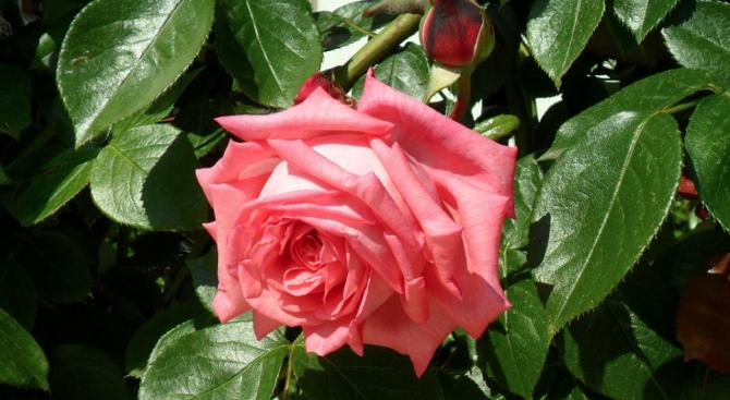 49% от заявените площи с маслодайна роза за подкрепа по
