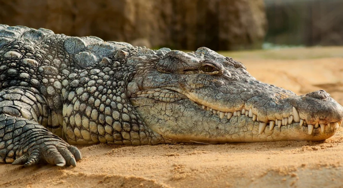 Спасяват крокодил от мотоциклетна гума