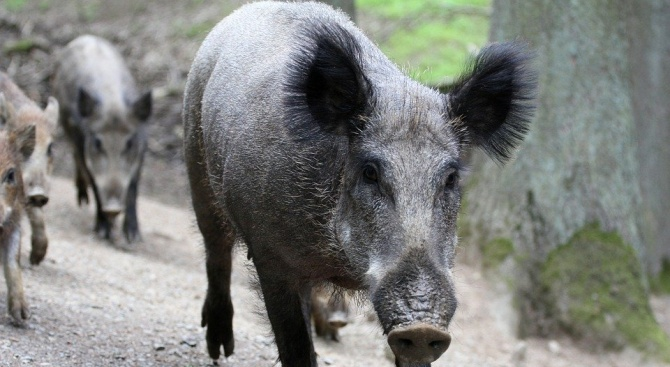 Осем отстреляни диви прасета в Ямболско са с АЧС