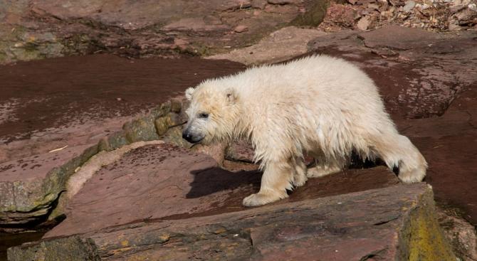 Бялото мече във виенската зоологическа градина излезе на открито