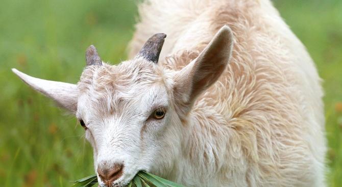 Задигнаха 110 кози от стопанин в Твърдица