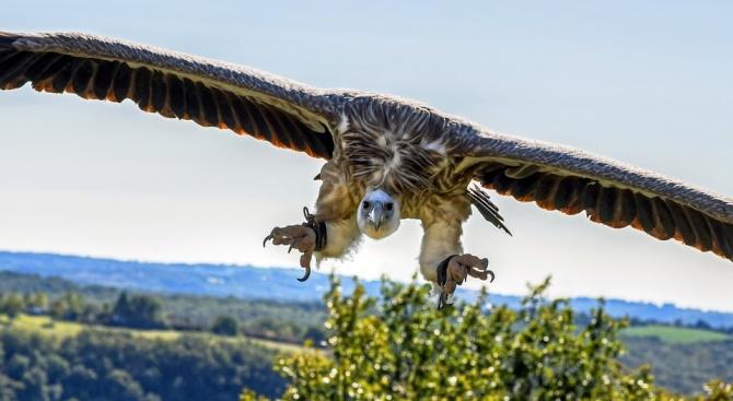 Увеличила се е популацията на белоглави лешояди в Източните Родопи