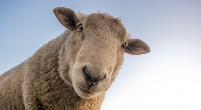 Овце бродят в ''Столипиново'' между панелените блокове