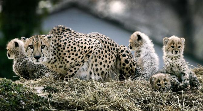 Родиха се гепардчета, заченати инвитро