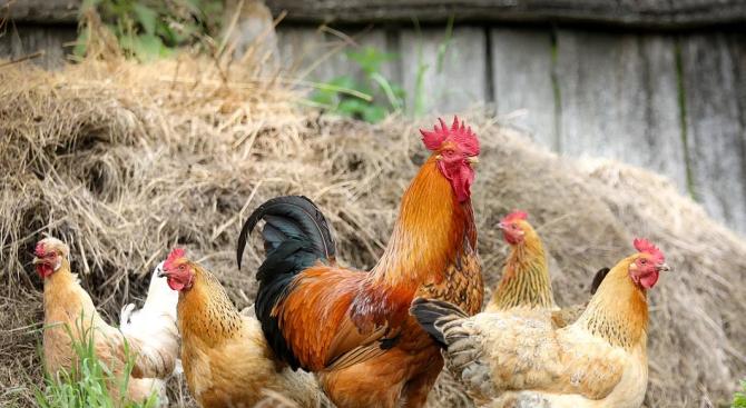 Три огнища на птичи грип са регистрирани в Пловдивска област