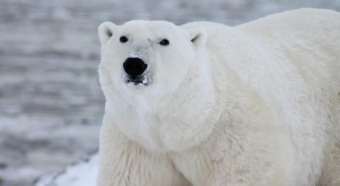 Белите мечки в руския север са започнали да се самоизяждат