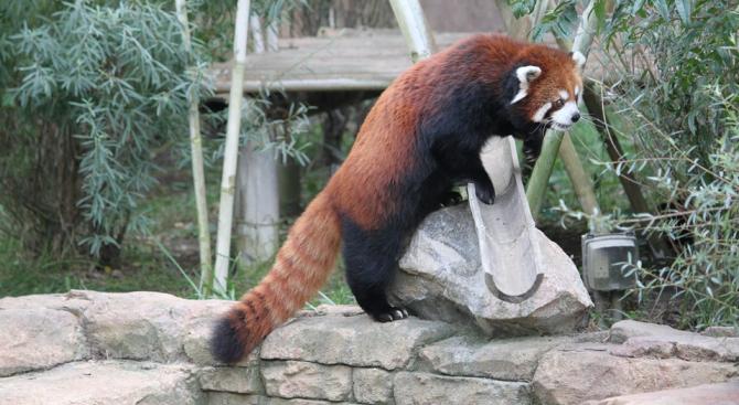 Червените панди всъщност са два отделни вида