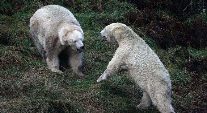 Белите мечки в Русия се самоизяждат