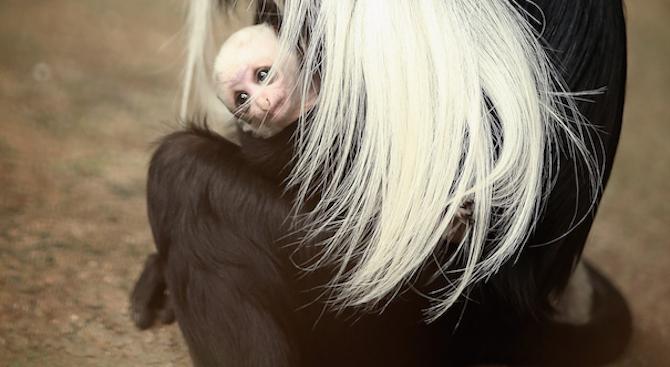 Маймунче от рядък вид се роди в зоопарк в Прага