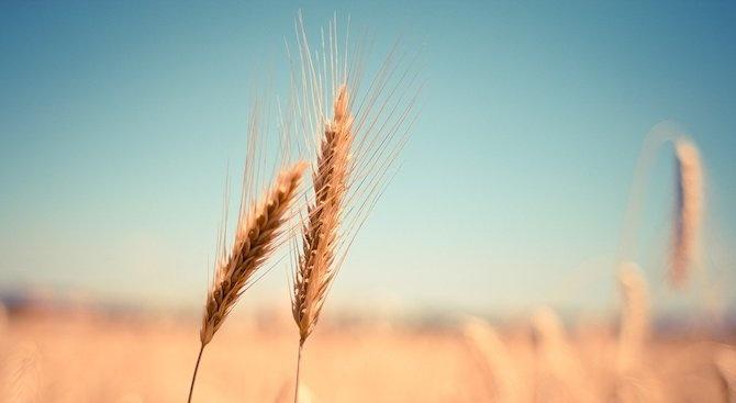 Предстои третиране на площите с пшеница в Плевенско