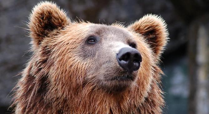 Почина най-старата българска мечка