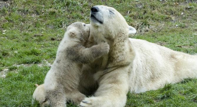 Полярните мечета в холандска зоологическа градина дебютираха без публика