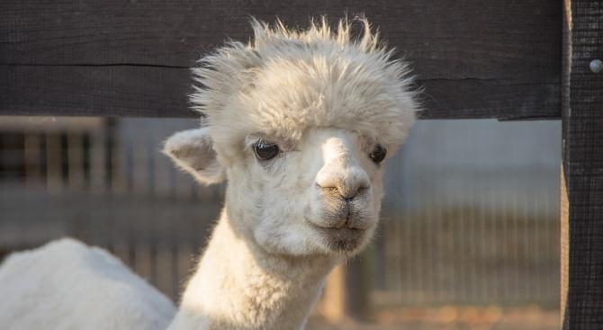 В зоопарка в Бургас се роди женска лама, която ще