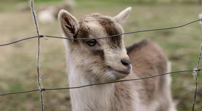Изобретателни испанци извеждат на разходка кози и птичета, за да излязат