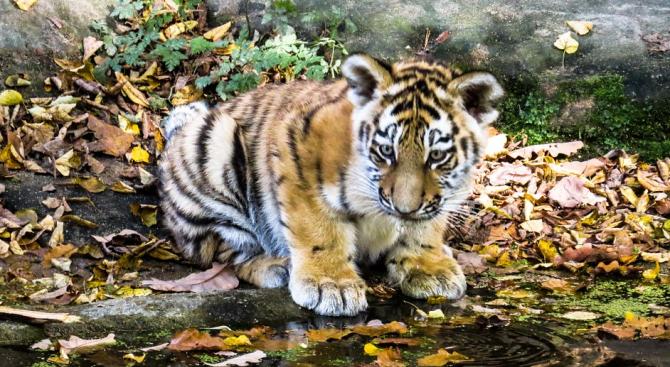 Тигърчето Ковид носи надежда на зоопарк в Мексико