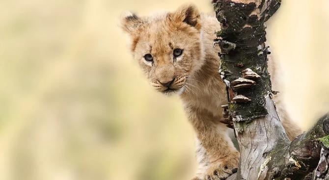 Ветеринари, полиция, клиника и авиокомпания участваха в спасяването на лъвче