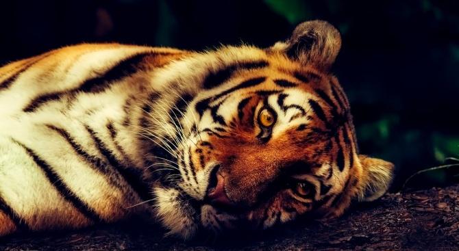 Тигър в Зоологическата градина на Бронкс е с коронавирус