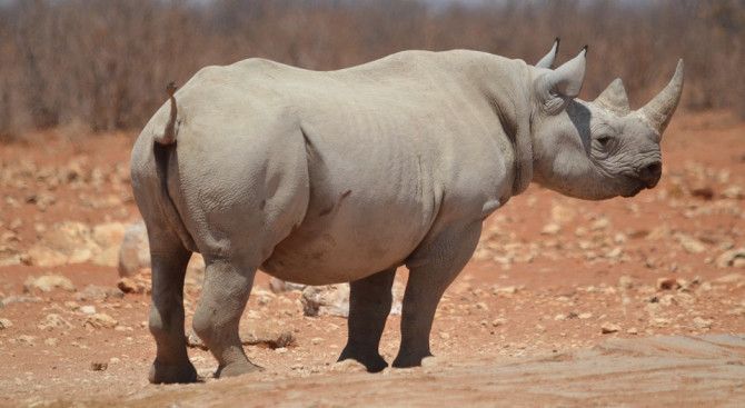 Носорог е бил заснет да преследва жители из опустелите улици
