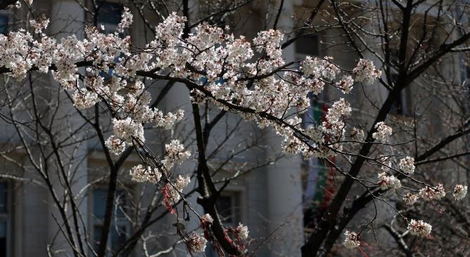 Японските вишни цъфнаха пред Националната библиотека