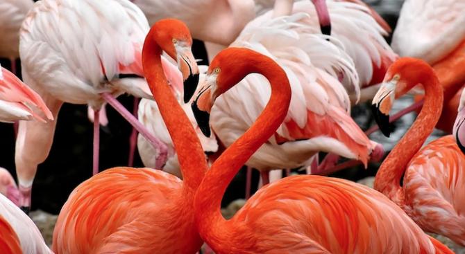 Птиците фламинго могат силно да обичат и силно да мразят