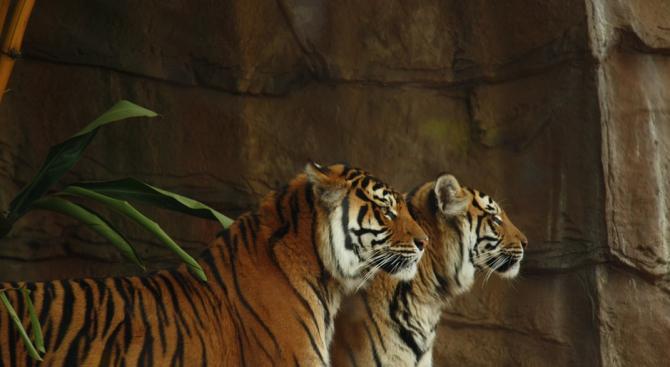 Тигри и лъвове се оказаха заразени с COVID-19 в нюйоркски зоопарк