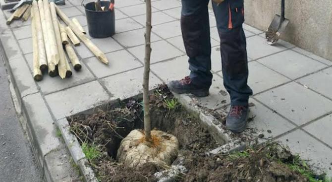 Започна засаждането на едро и средноразмерни дървета по улици и булеварди в София
