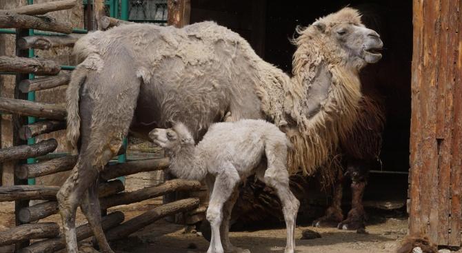 Двугърба камила се роди във варненския зоопарк