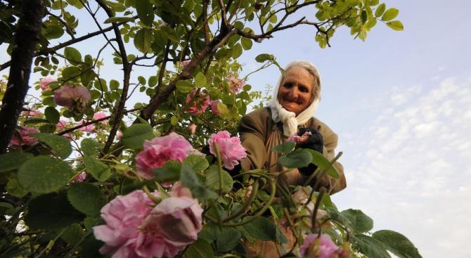 Започва идентификация на площите с насаждения от маслодайна роза в страната