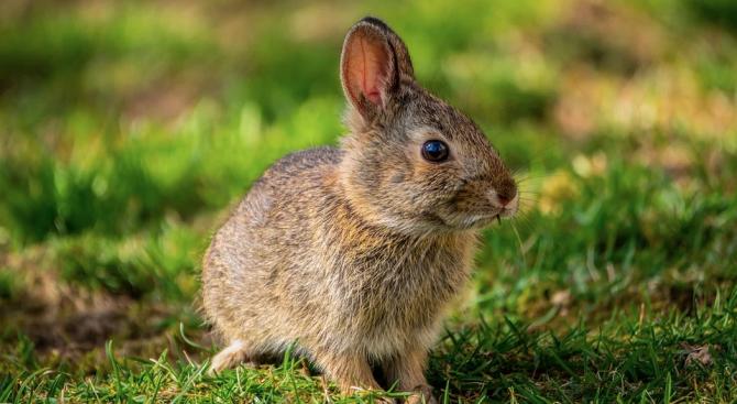 Зайците са били почти опитомени в Китай преди около 5000