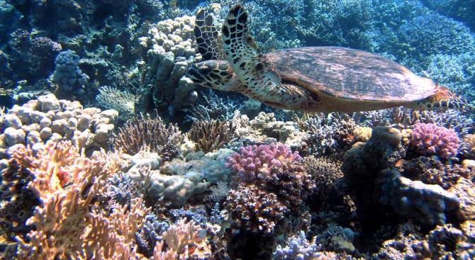 Резистентни към топлината водорасли могат да защитят коралите от избелване
