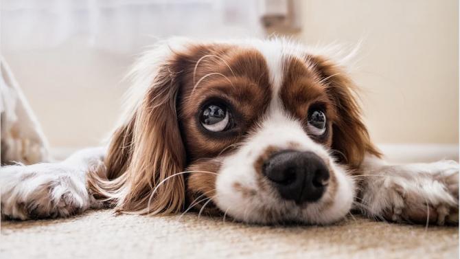 Безплатна кастрация на домашните кучета започва в община Перник, съобщи