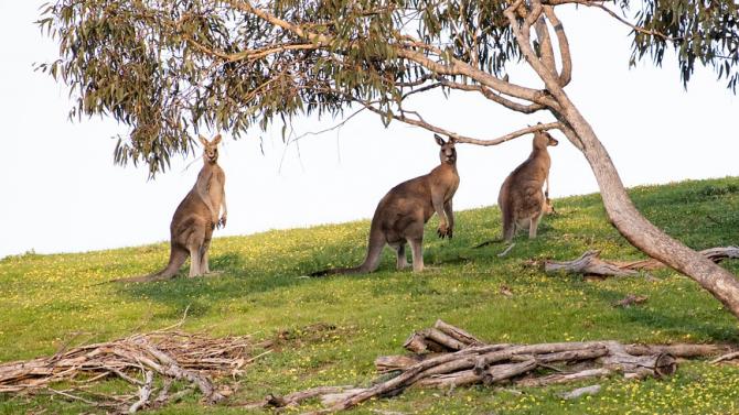 Климатичните промени довели до измирането на гигантски видове кенгуру и крокодили