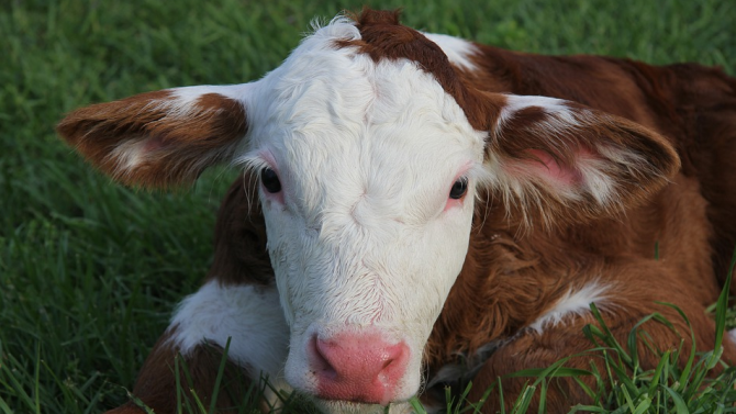 В три кравеферми и в една овцеферма в севлиевските села