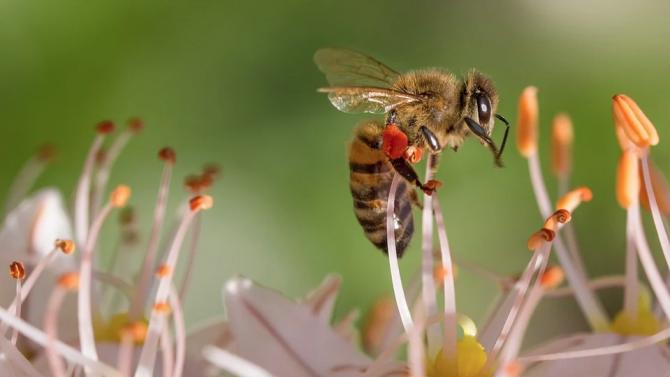 Светът отбелязва Международния ден на пчелата. Денят се отбелязва от