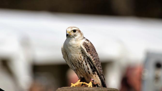 Доброволци са участвали в изграждането на изкуствени гнезда за дивите ловни соколи в страната