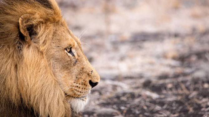 Лъвовете в зоопарка на Разград минават на специална диета