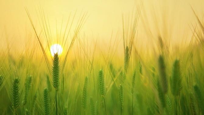 Община Плевен предупреди пчеларите за предстоящо подхранване на площи с пшеница
