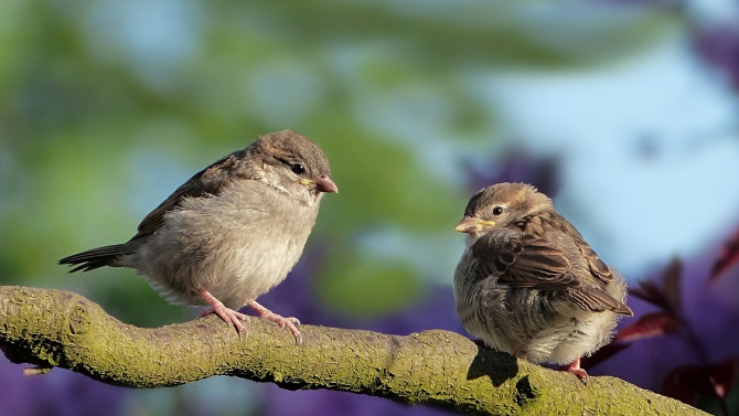 Орнитолог: Намаляването на врабчетата подсказва влошена жизнена среда