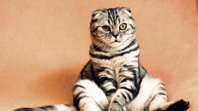 Първи случай на новия коронавирус при котка в Русия