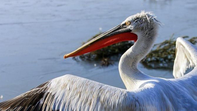 """Къдроглавите пеликани в """"Сребърна"""" отглеждат поколение, съобщават от Регионалната инспекция"""