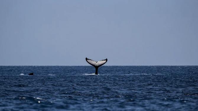 Гърбат кит се появи във водите край Монреал