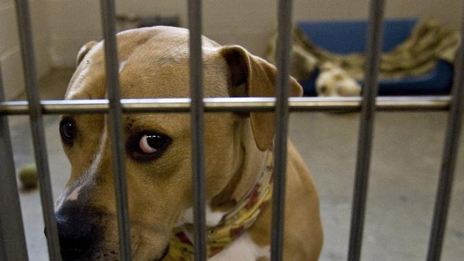 """Спасиха питбули от """"тренировъчен лагер"""" за кучета-убийци в Перник"""