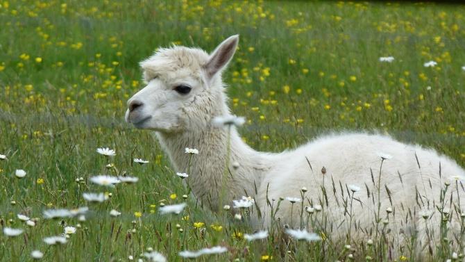 Алпака помага на шведски учени в проект за COVID-ваксина