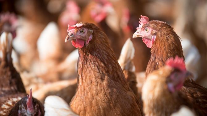Птичи грип във ферма за кокошки край Асеновград