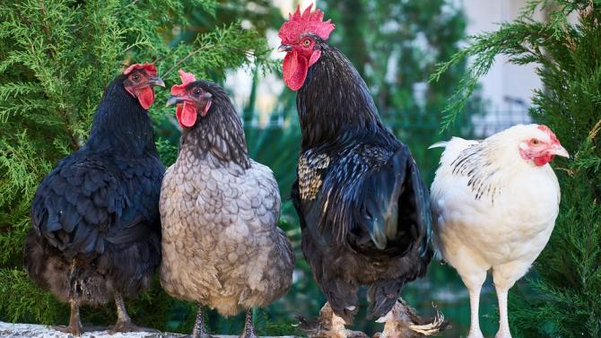 Стотици безстопанствени петли и кокошки тероризират жители на Окланд